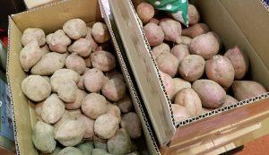 平成30年度産 種子島 安納芋