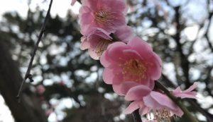 白山神社の梅。