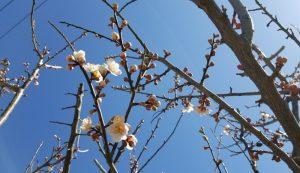 梅の花。白