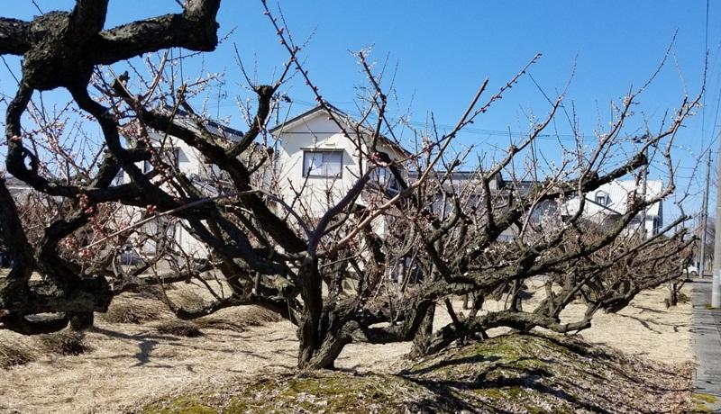 梅の木の豪快な枝ぶり