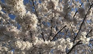 2019.4/13 亀田排水路公園。